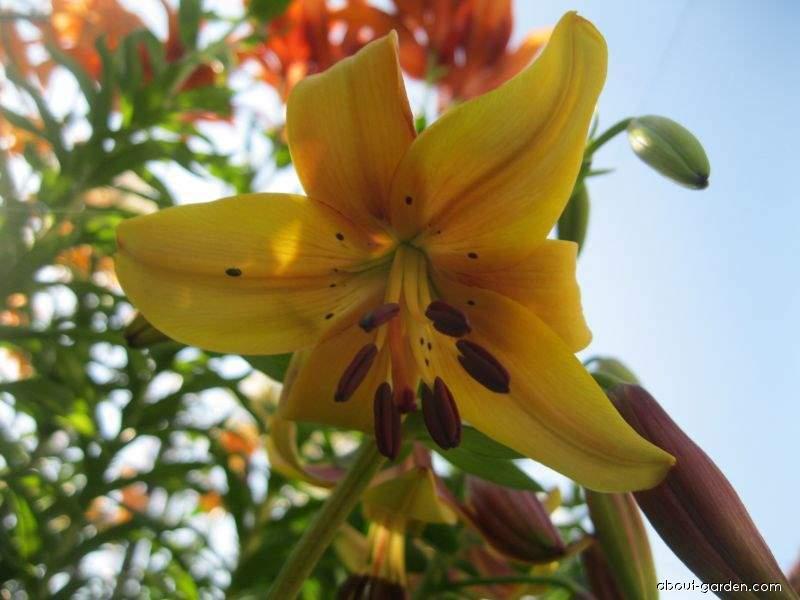 Lily - Lilium x hybridum Lazy Lady