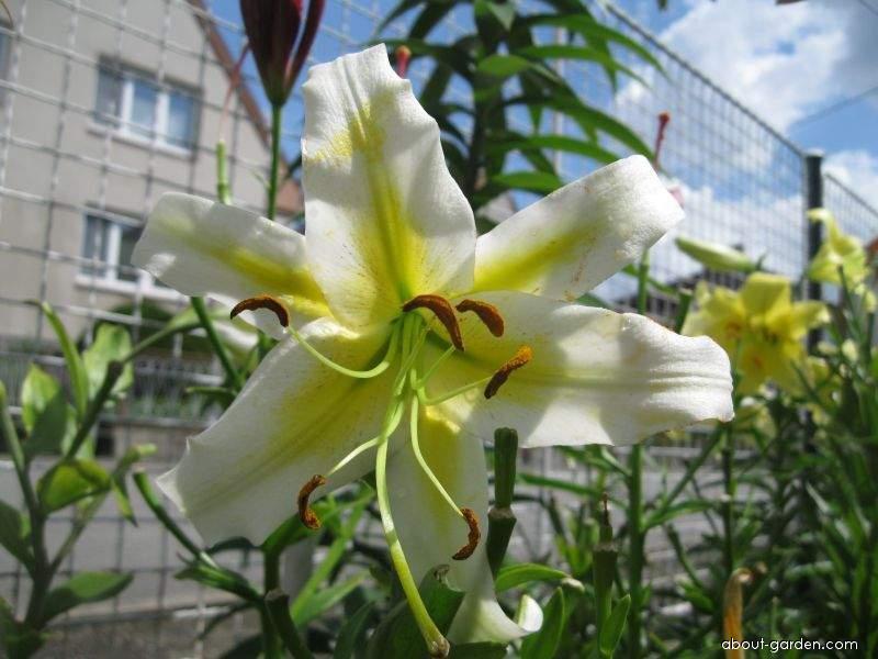 Lily - Lilium x hybridum Apetit