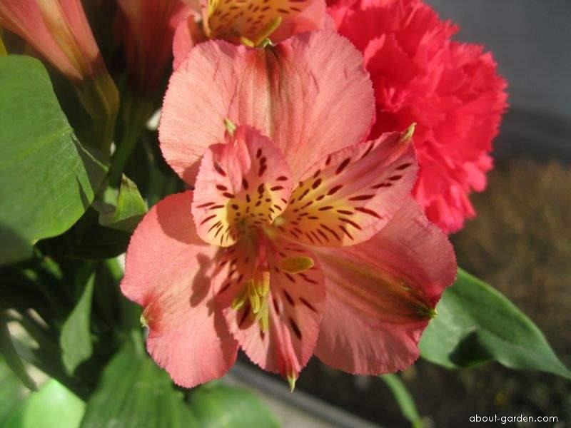 Alstremérie (Alstroemeria)