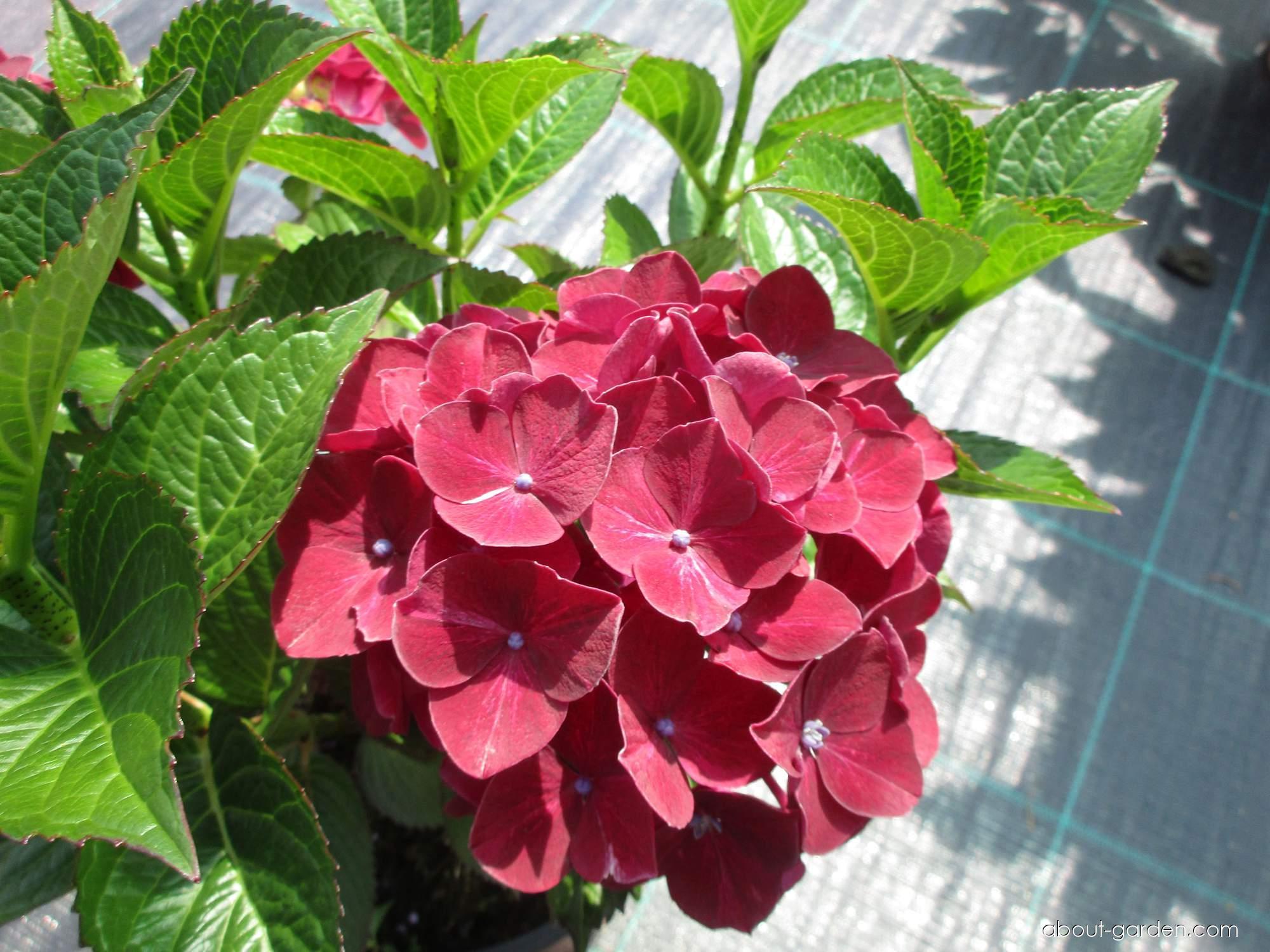 Hortenzie velkolistá (Hydrangea macrophylla)
