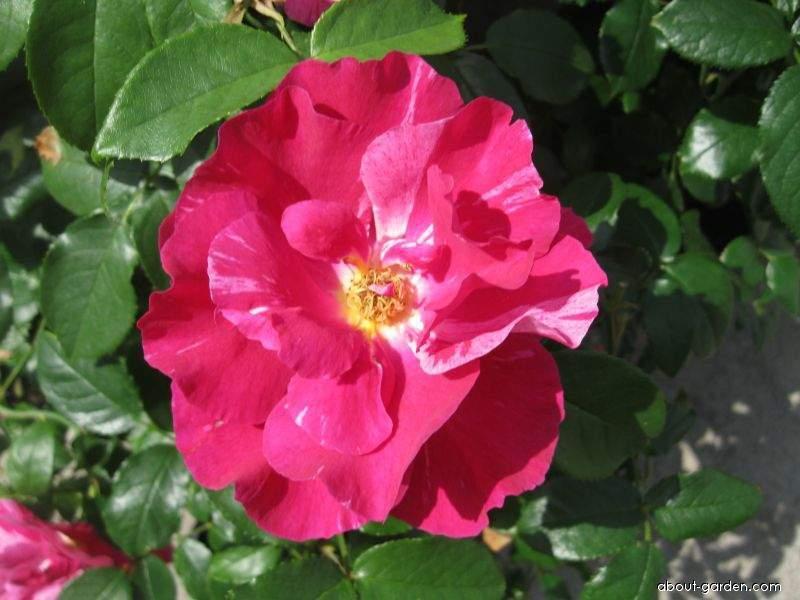 Rose - Rosa Guy Savoy