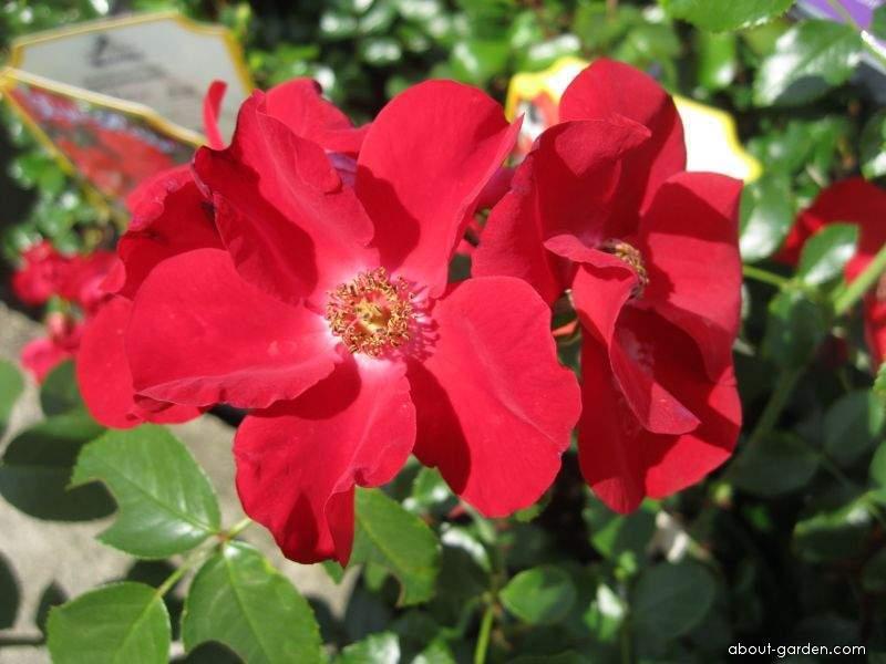 Rose - Rosa Apache
