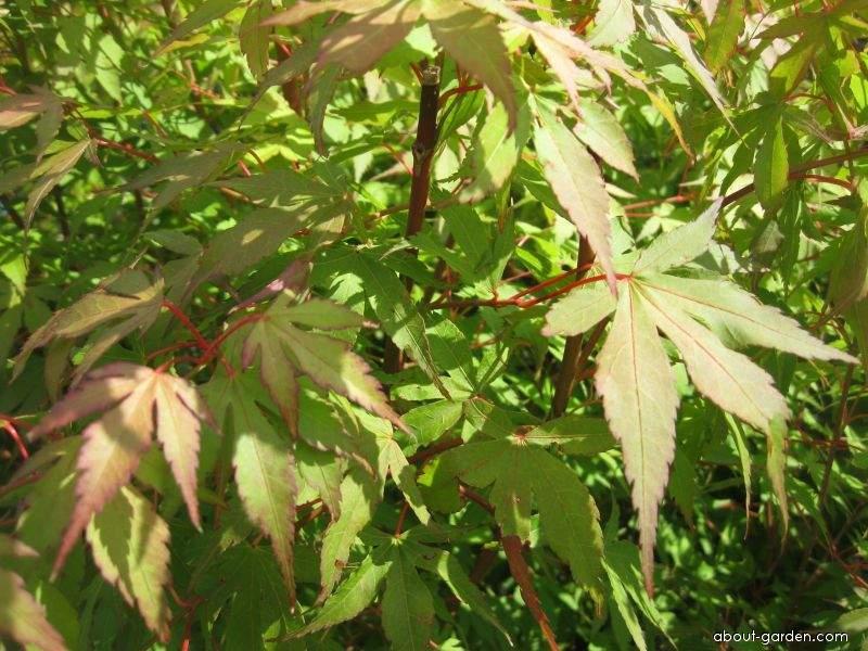 Javor dlanitolistý Katsura (Acer palmatum)