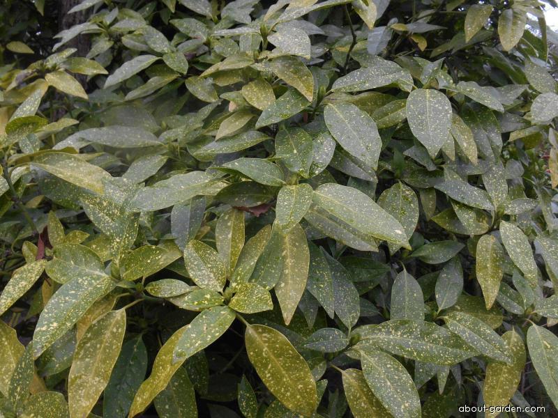 Aukuba japonská (Aucuba japonica)