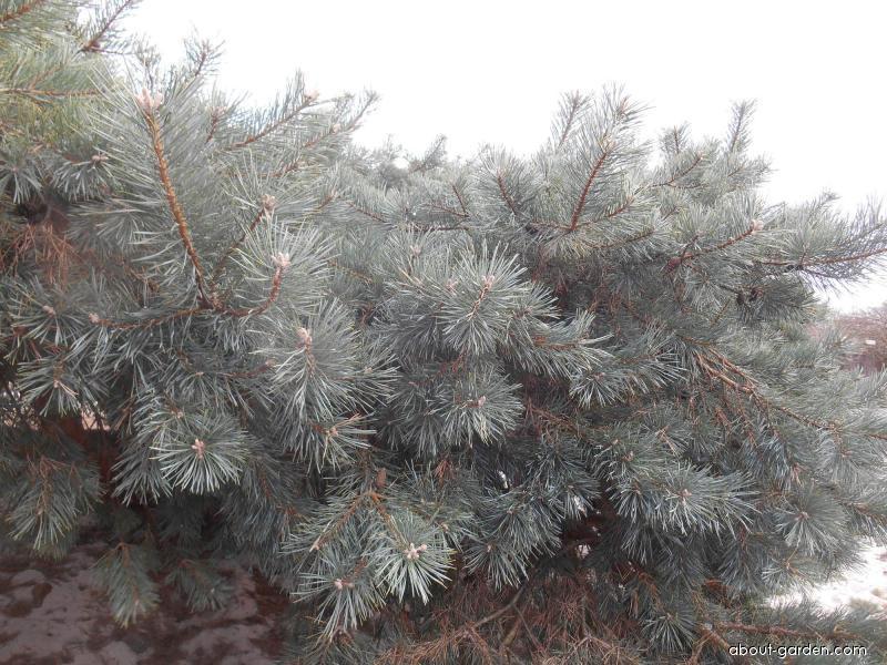 Scots pine - Pinus sylvestris Hillside Creper