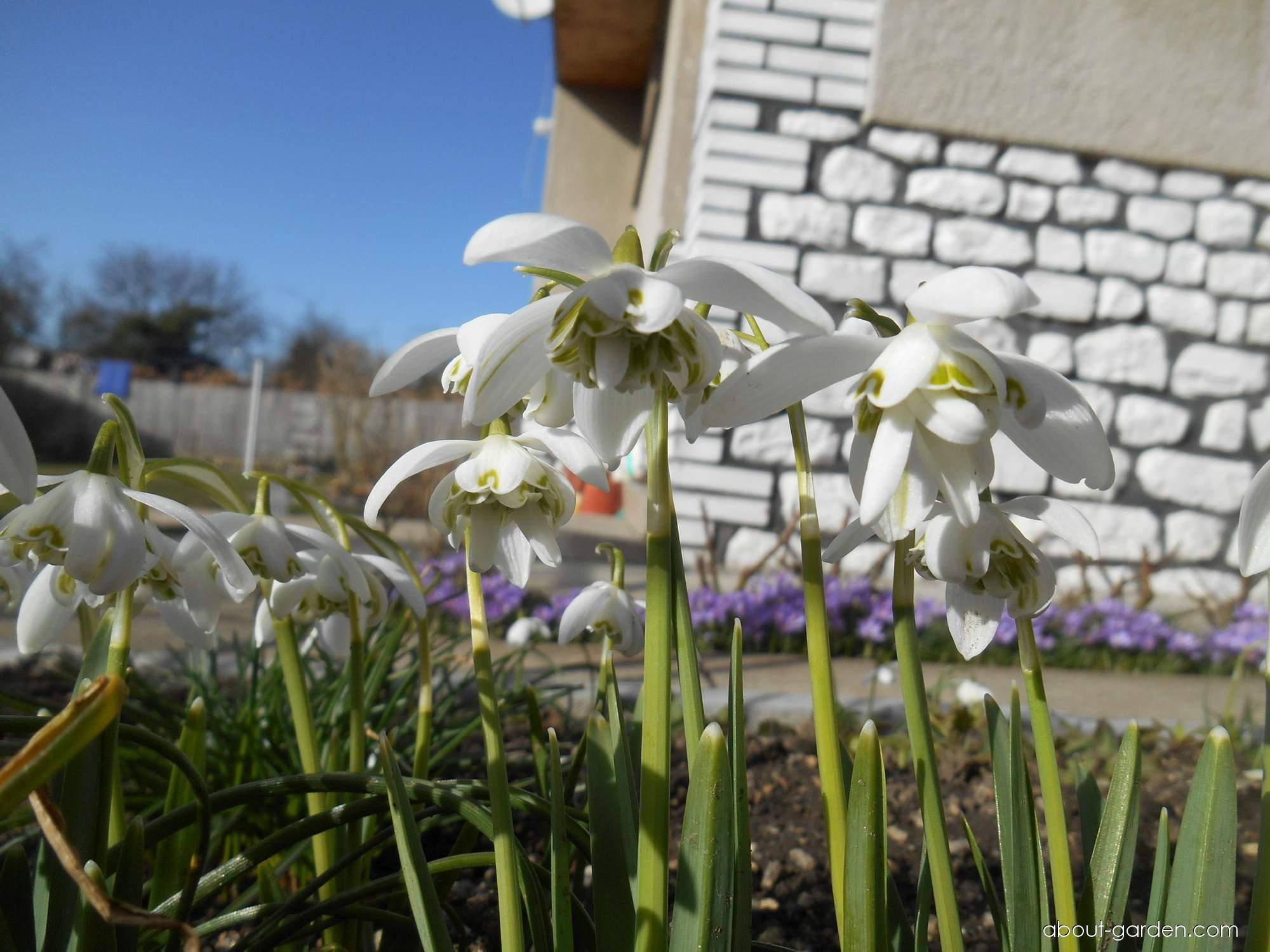 Snowdrop - Galanthus nivalis Flore Pleno
