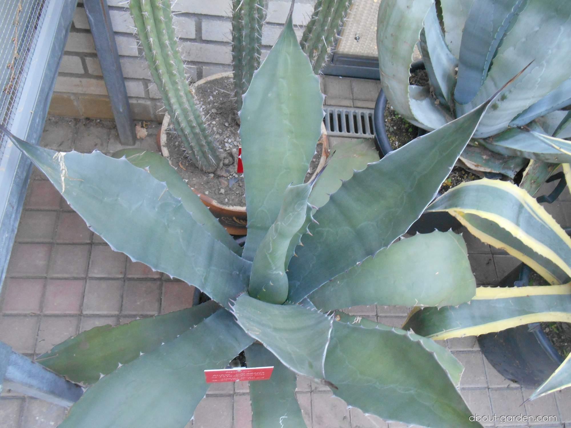 Agáve (Agave salmiana var ferox)