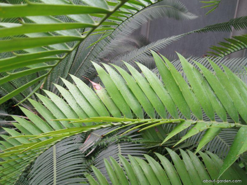 Píchoš Hildebrandtův (Encephalartos hildebrandtii)
