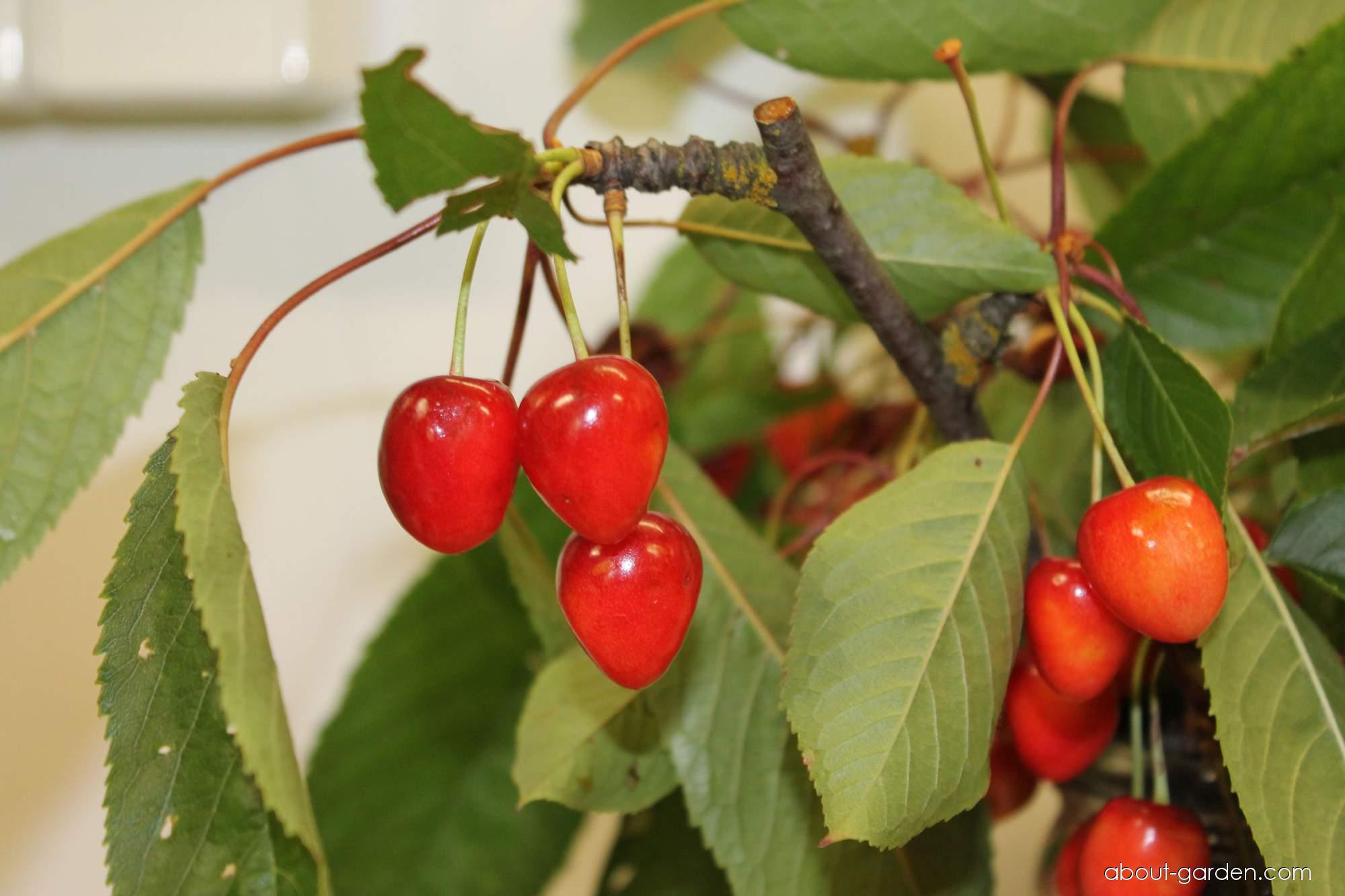 Třešeň obecná Srdcovka přeúrodná (Prunus avium)