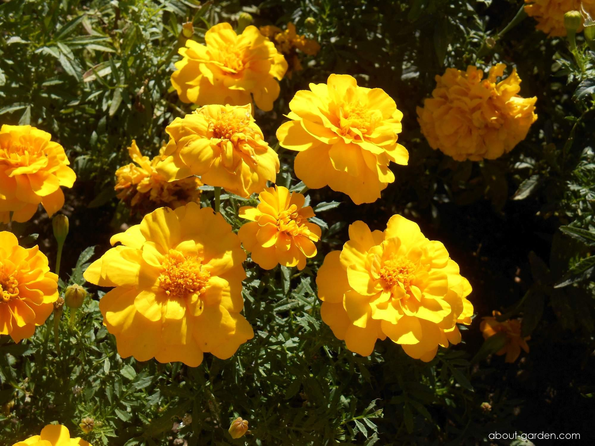 French Marigold - Tagetes patula Durango Yellow