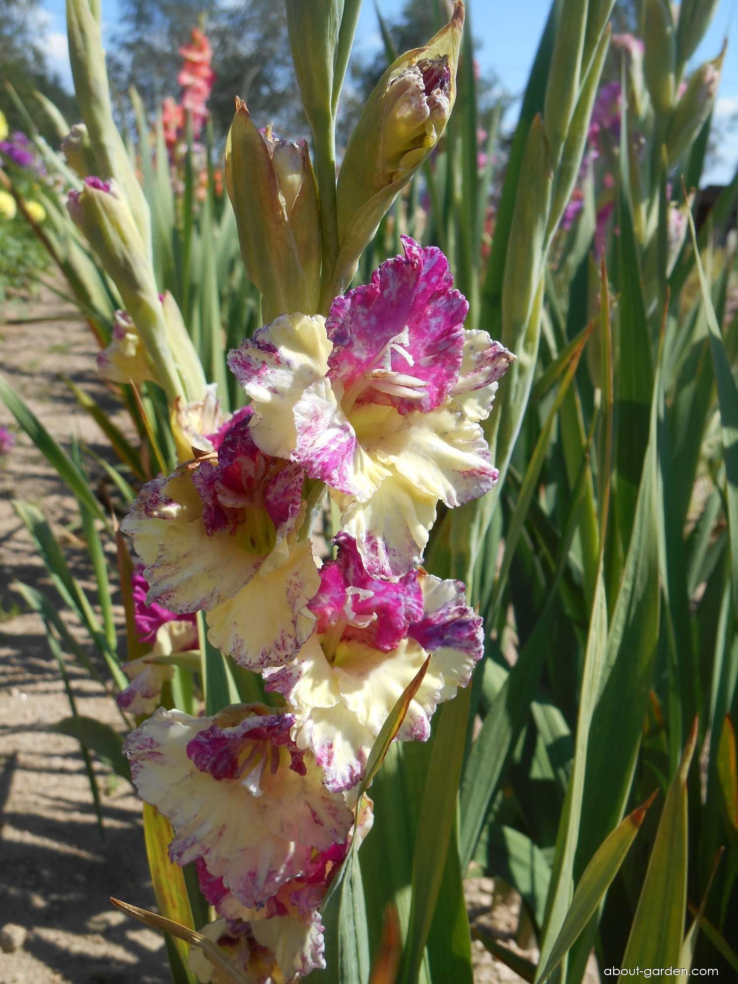 Gladiolus - Gladiolus Orientální motýl