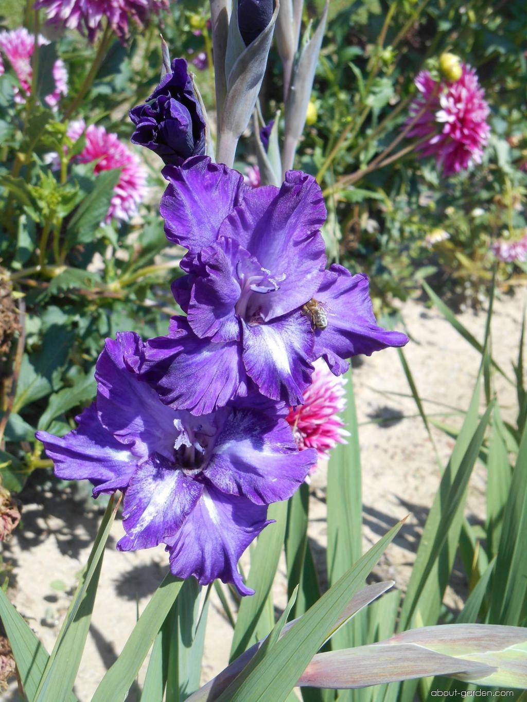 Gladiolus - Gladiolus Clare