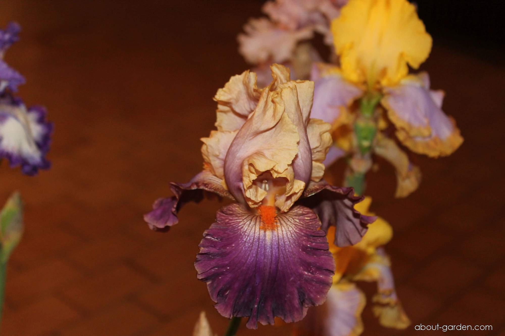 Bearded Iris - Iris barbata Bushwhacked