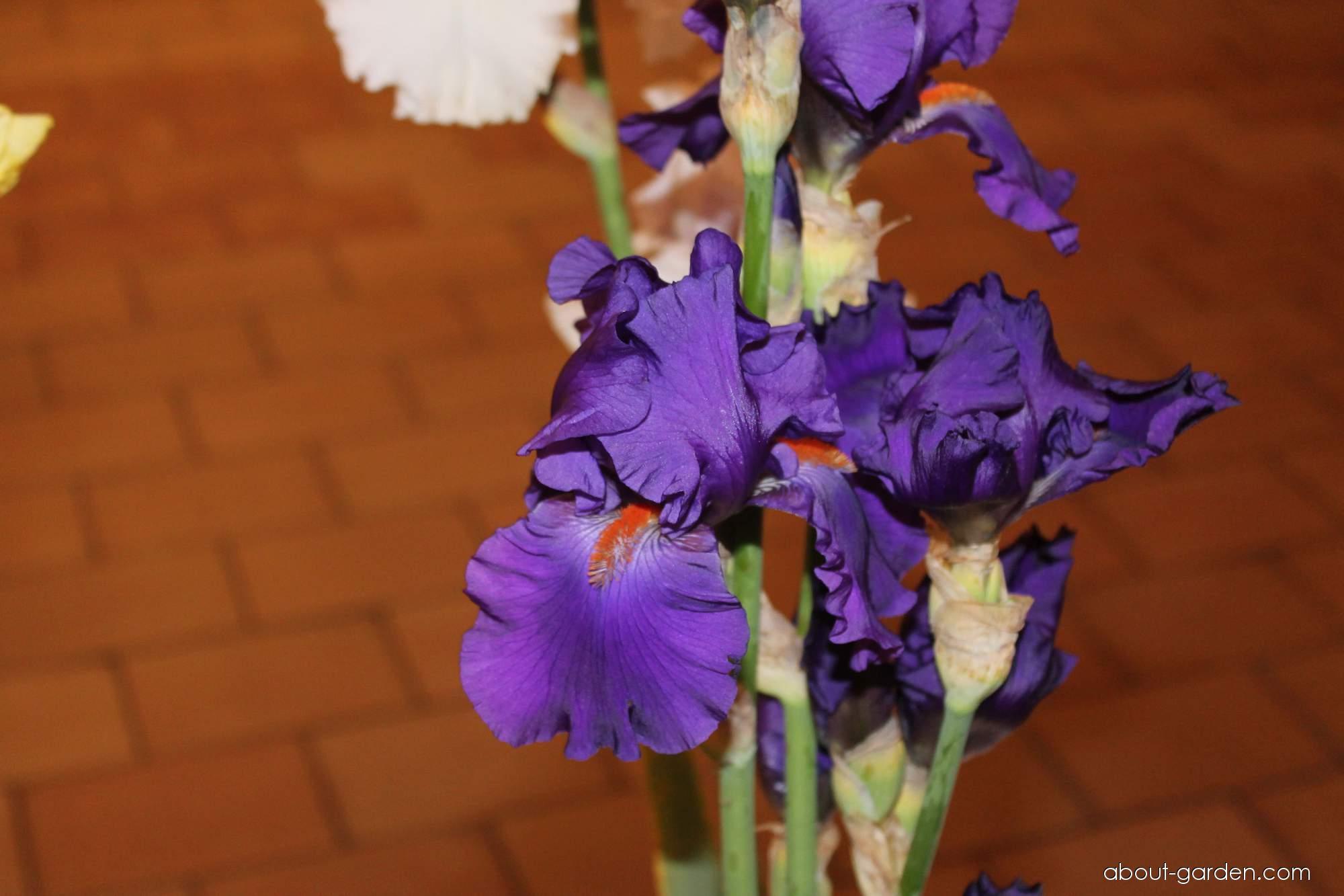 Bearded Iris - Iris barbata Paul Black