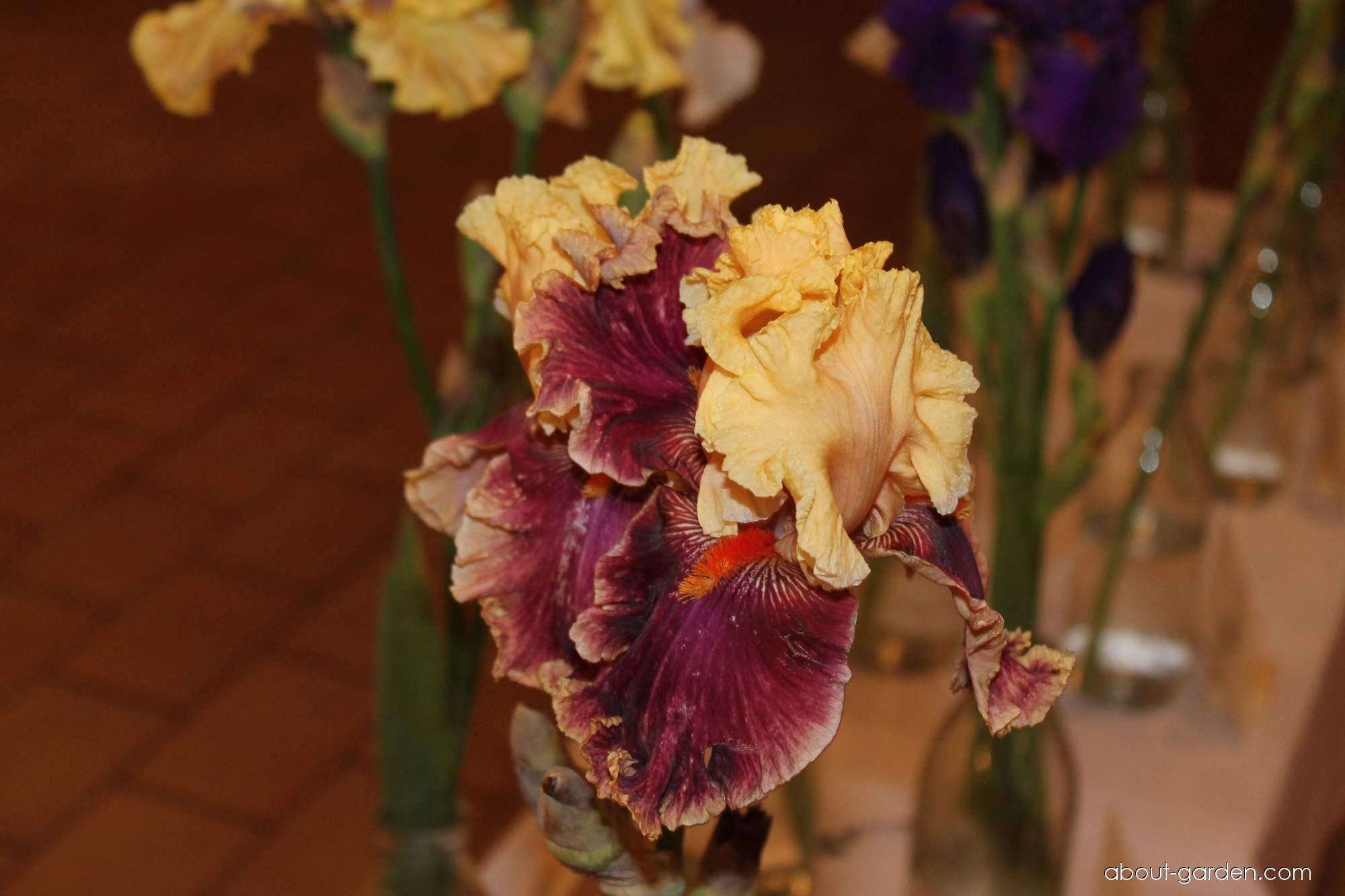 Bearded Iris - Iris barbata Decadence