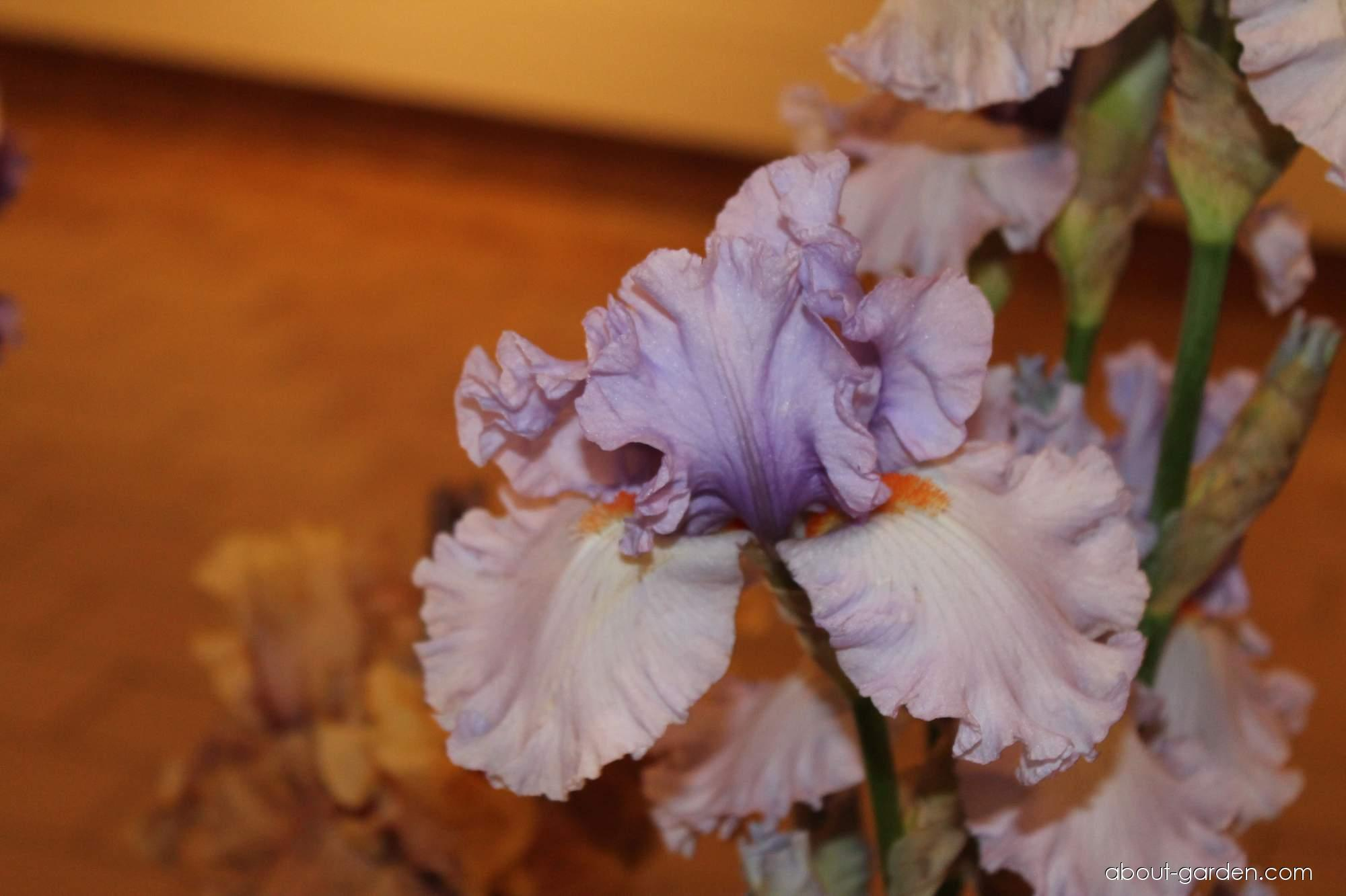 Bearded Iris - Iris barbata Blue Rising