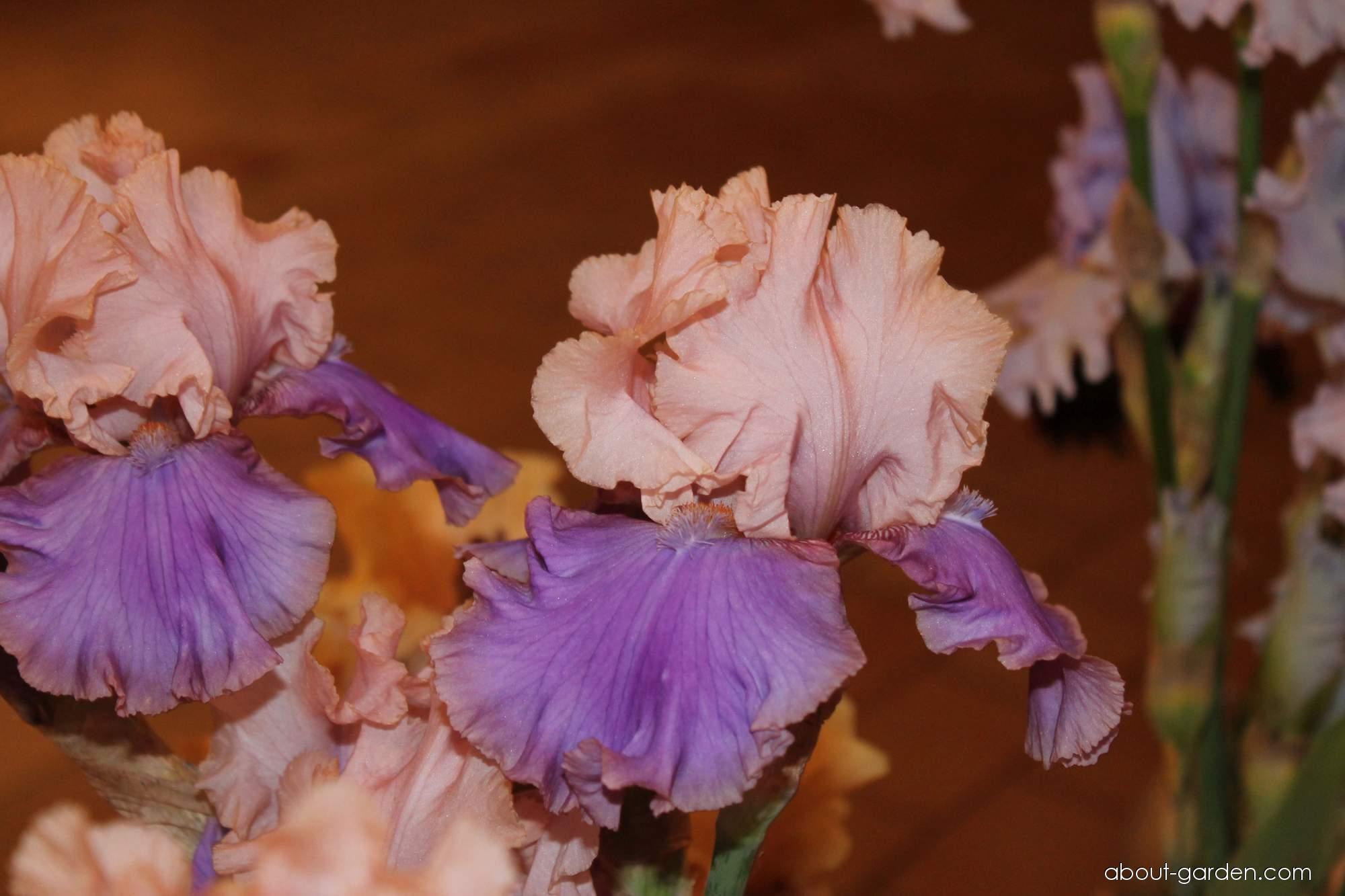Bearded Iris - Iris barbata Florentine Silk