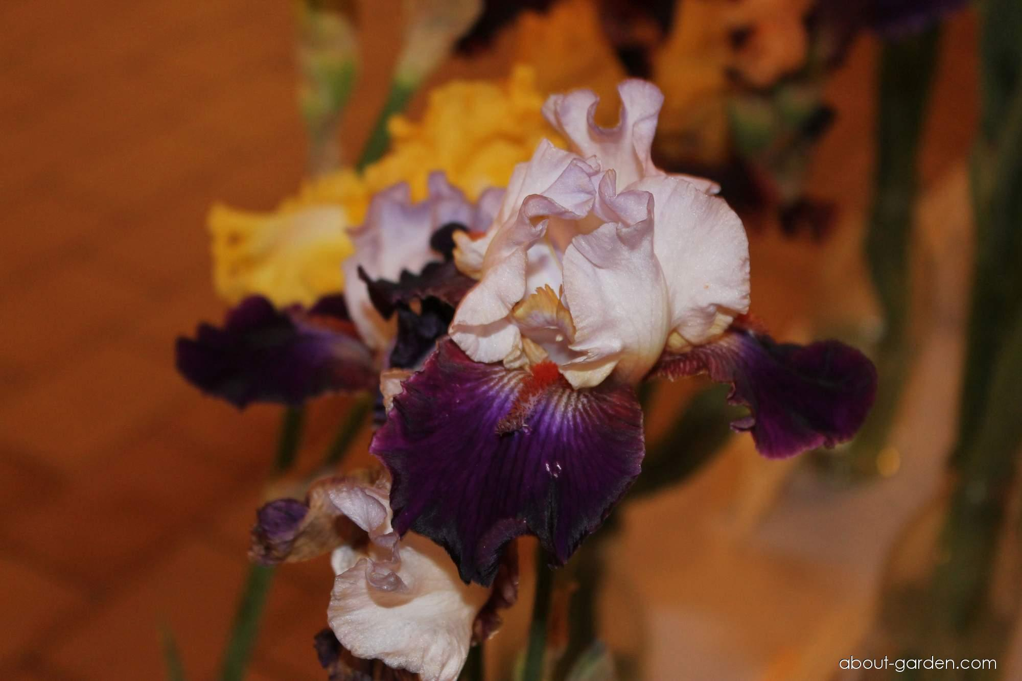 Bearded Iris - Iris barbata Some Enchanted Evening