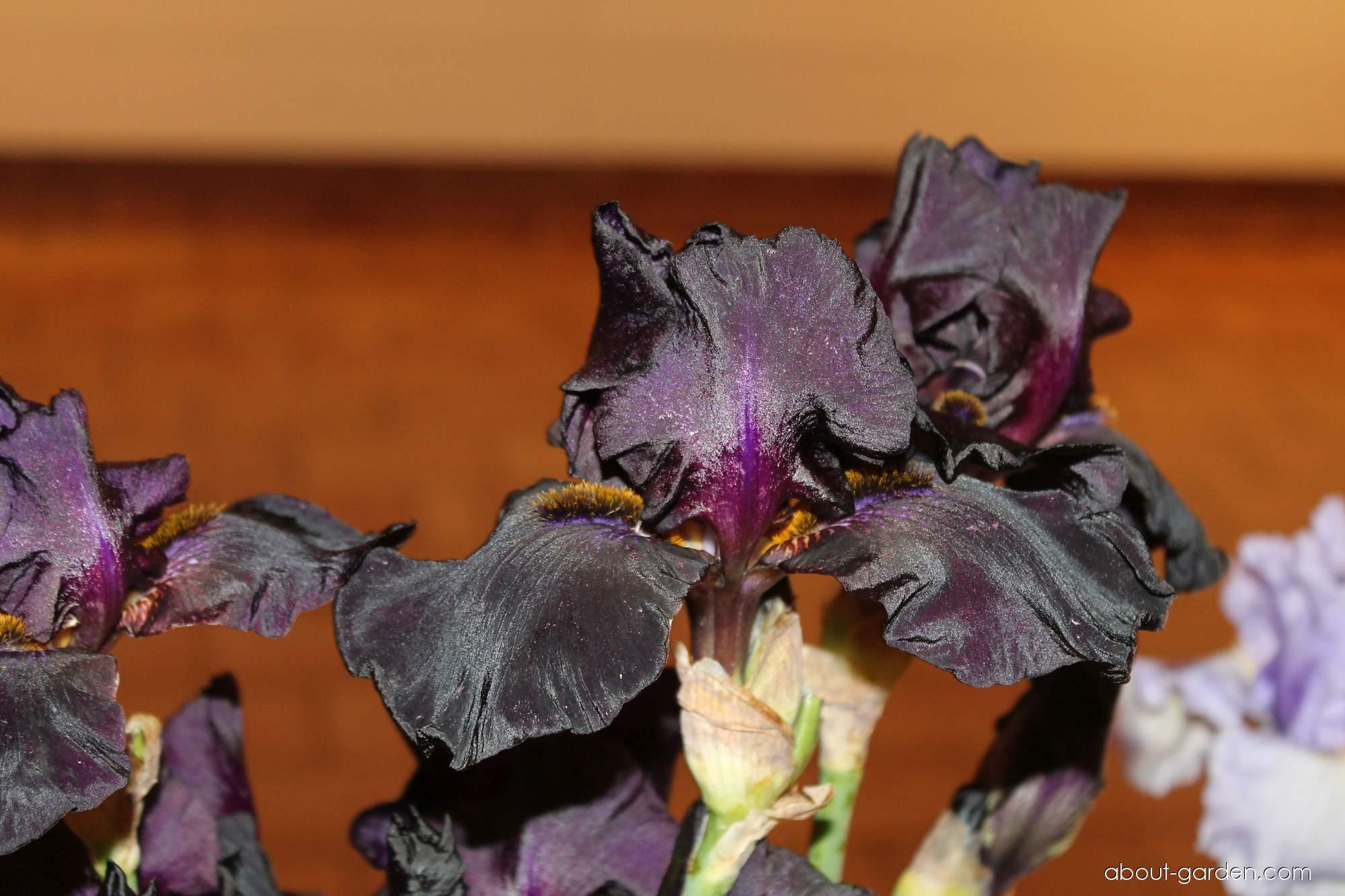 Bearded Iris - Iris barbata Old Black Magic