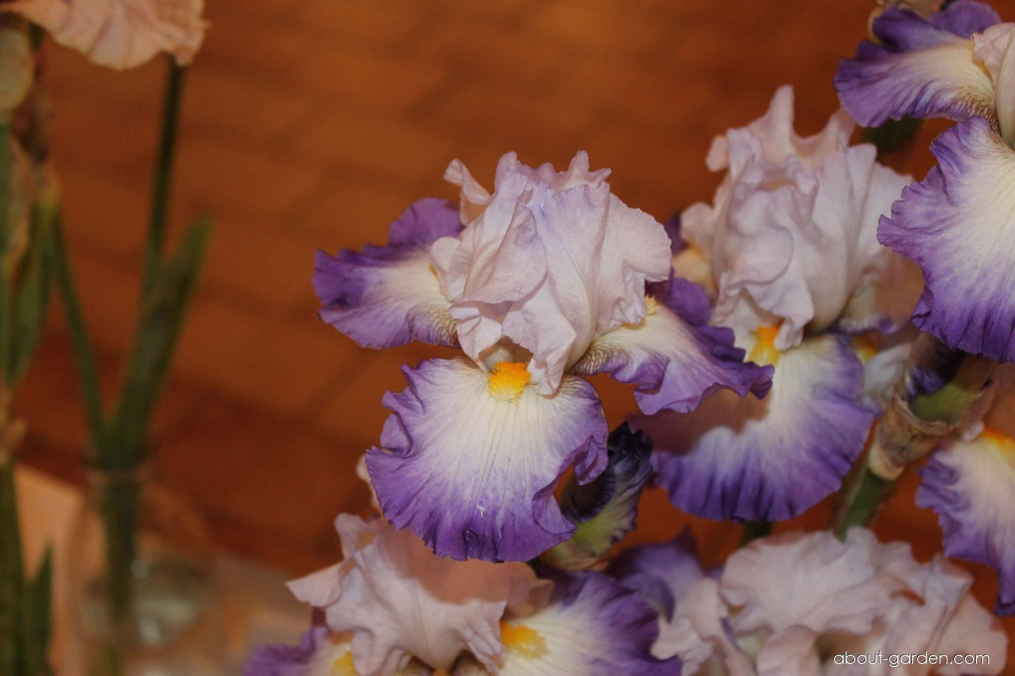 Bearded Iris - Iris barbata Pursuit of Happines