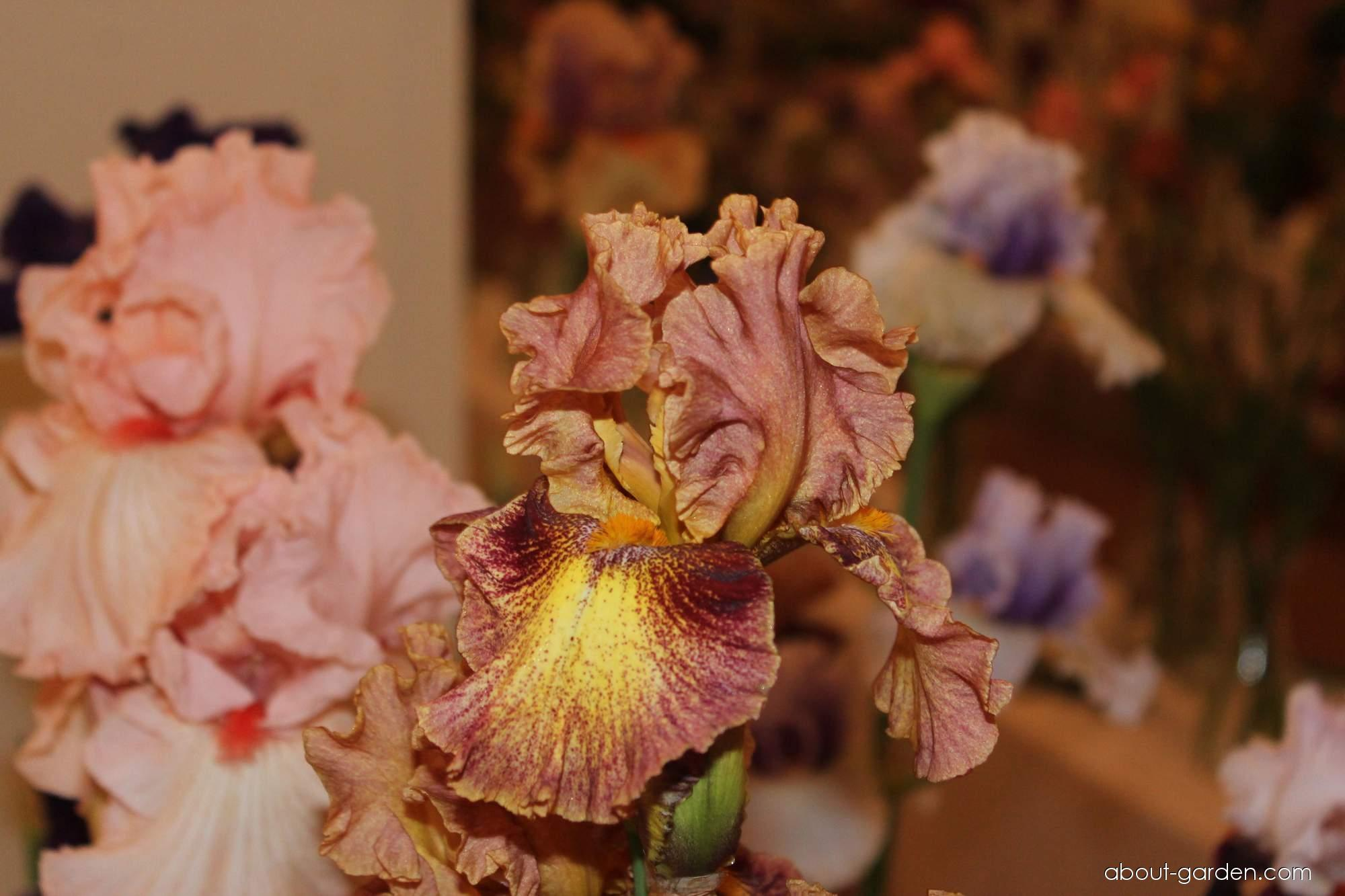 Bearded Iris - Iris barbata Magic Show