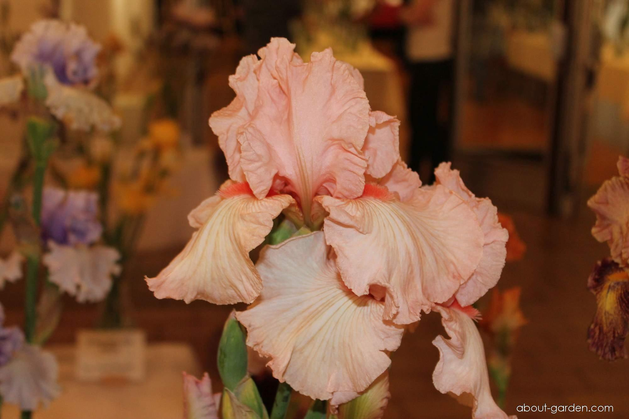 Bearded Iris - Iris barbata Peppermint Cream