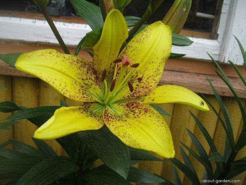 Lilie Belo Horizonte - Asijské hybridy (Lilium x hybridum)