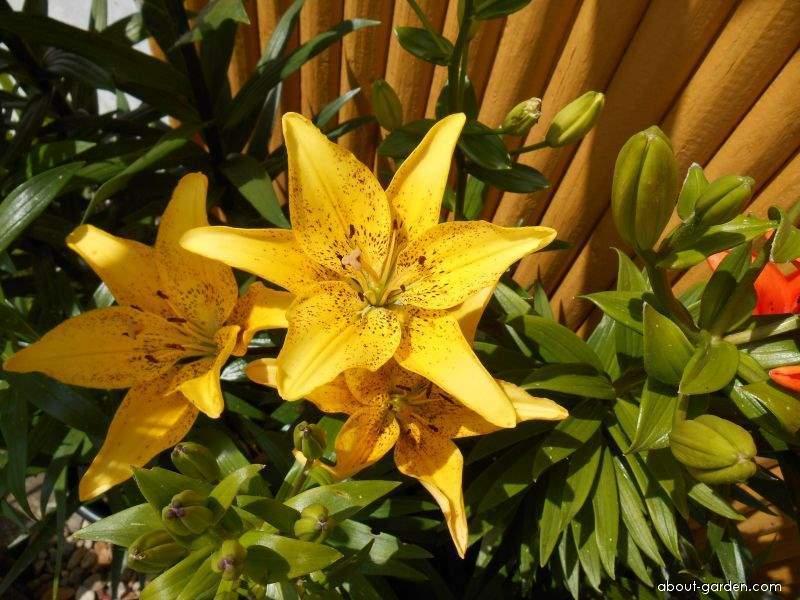 Lily - Lilium x hybridum Belo Horizonte