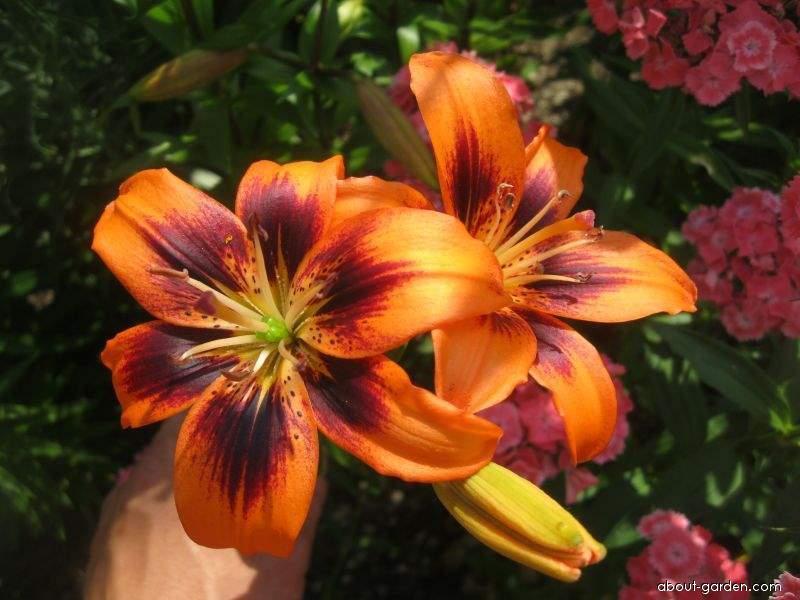 Lily - Lilium x hybridum Two Some