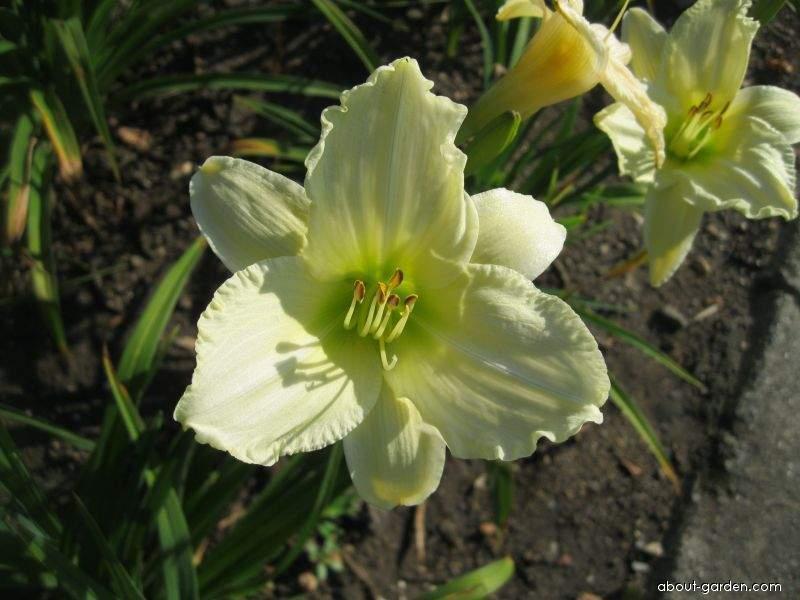 Daylily - Hemerocallis Heidi Edelweiss