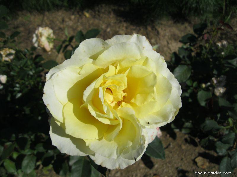 Rose - Rosa Elina