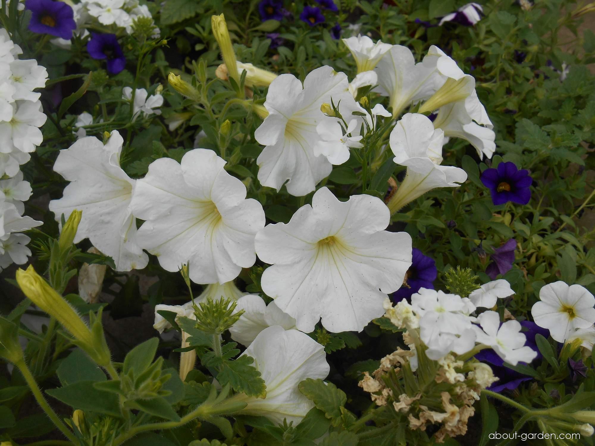 Petúnie (Petunia)