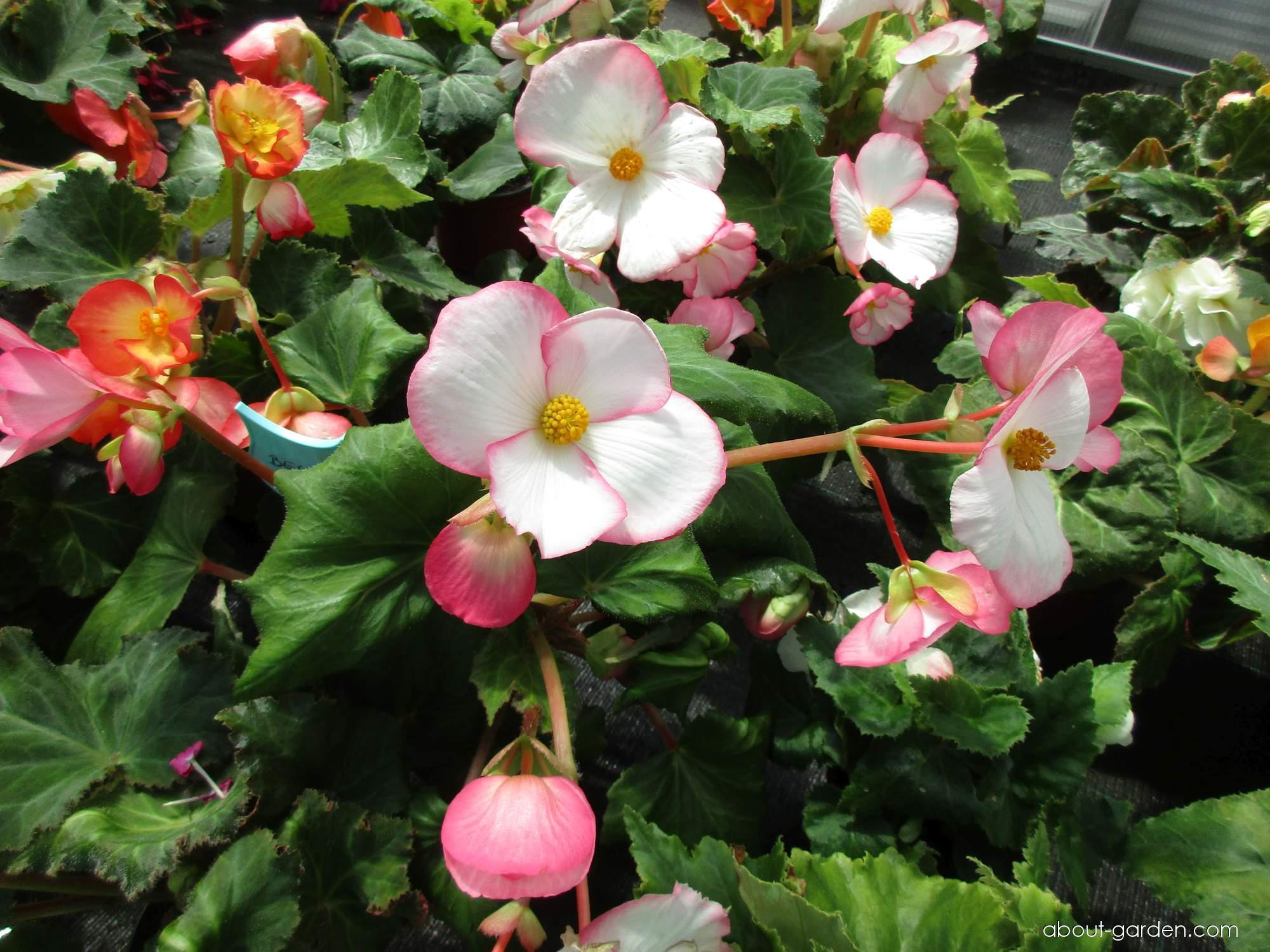 Tuberous begonia - Begonia x tuberhybrida