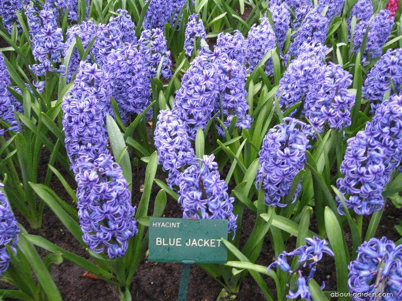 Common Hyacinth - Hyacinthus orientalis Blue Jacket