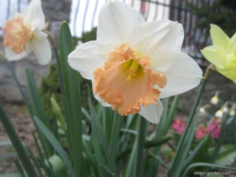 Daffodil - Narcissus British Gamble