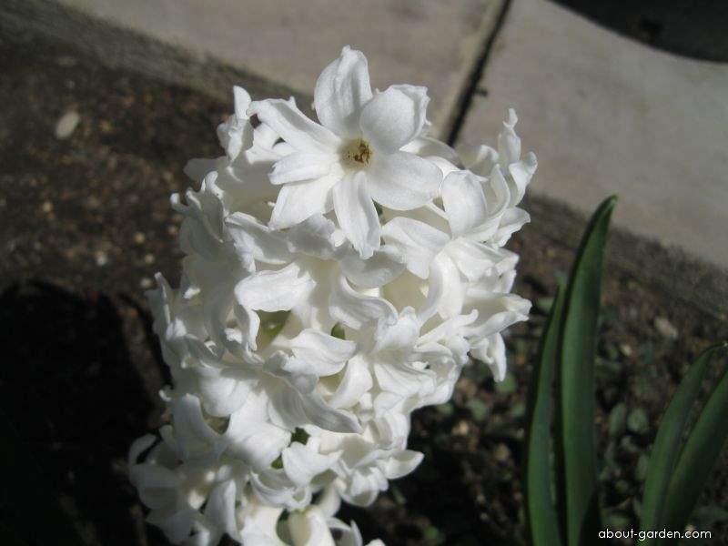 Common Hyacinth - Hyacinthus orientalis Carnegie