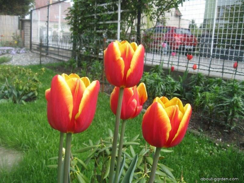 Tulipán Denmark - Triumph tulipány (Tulipa x hybrida)