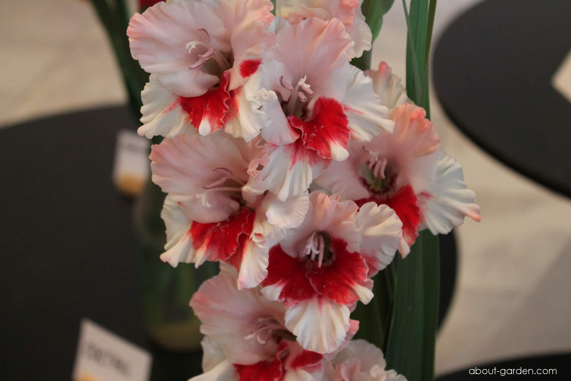 Gladiolus - Gladiolus Nostalgie