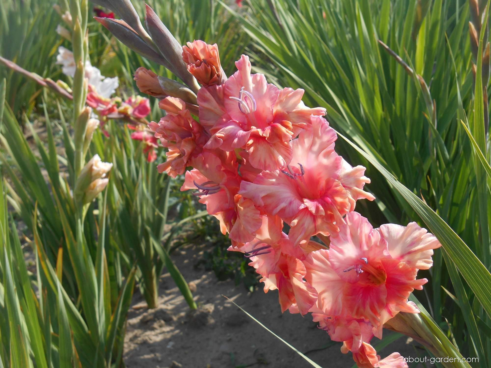 Gladiolus Days End (Gladiolus)