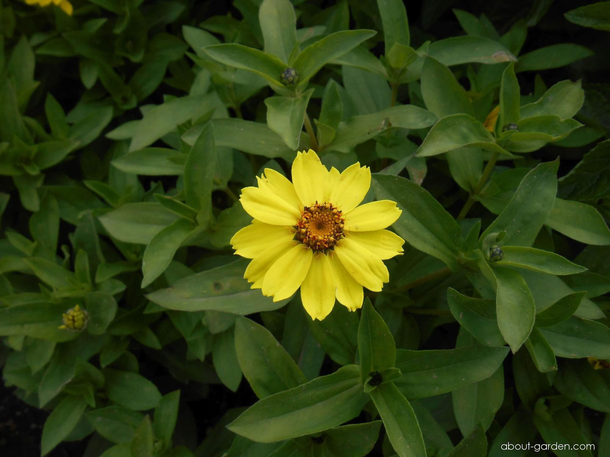 Ostálka Zahara Yellow (Zinnia maryladica)
