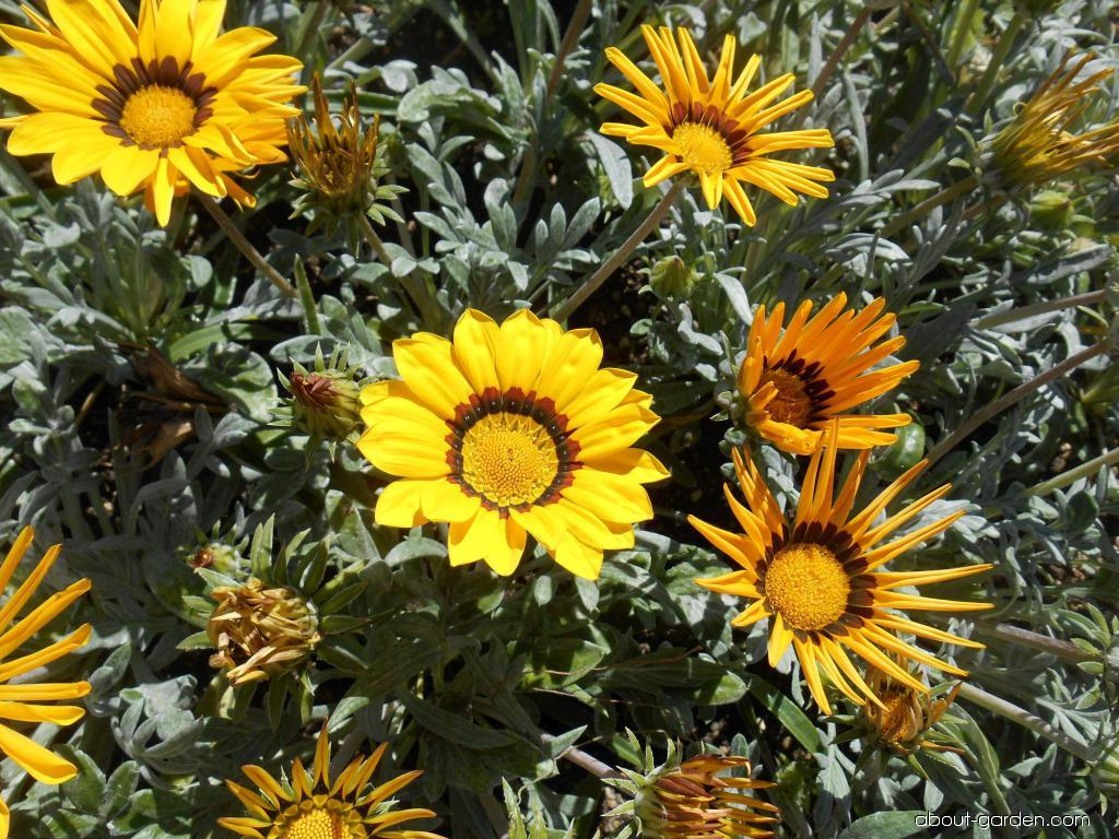 Treasureflower - Gazania rigens Kiss Yellow