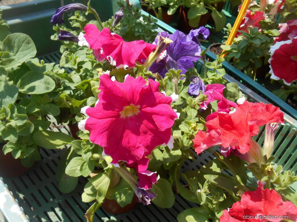 Petunia - Petunia x hybrida