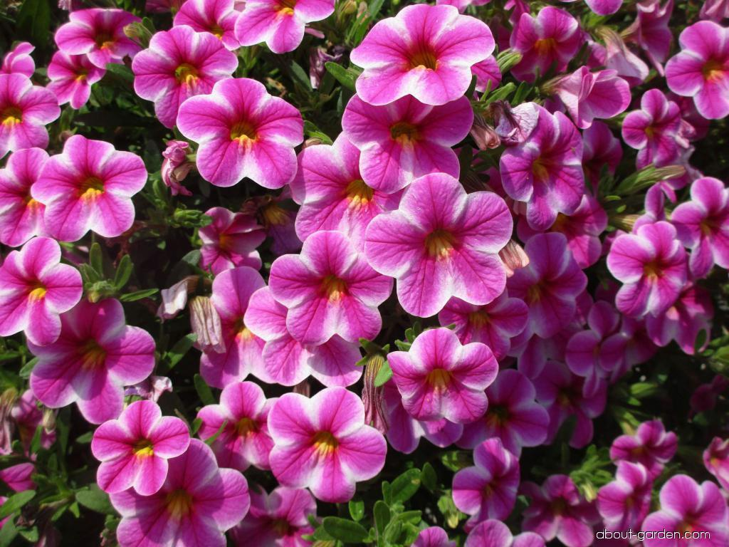 Calibrachoa Callie Star Pink (Mini petunia)