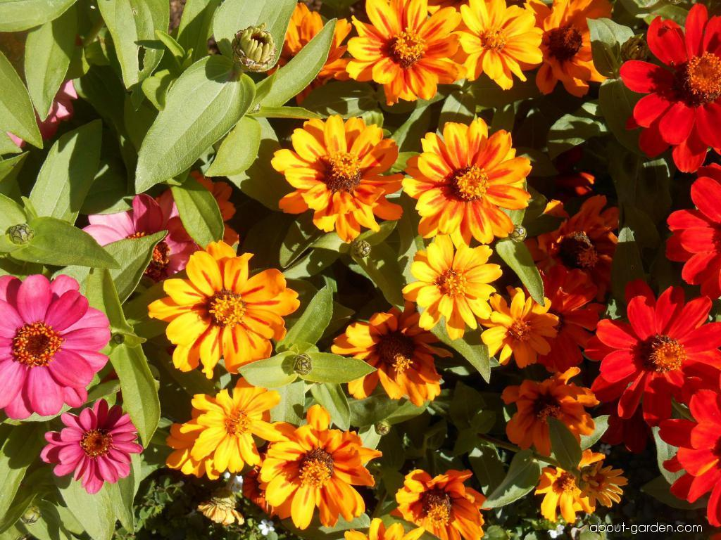 Ostálka marylandská Sunburst (Zinnia maryladica)