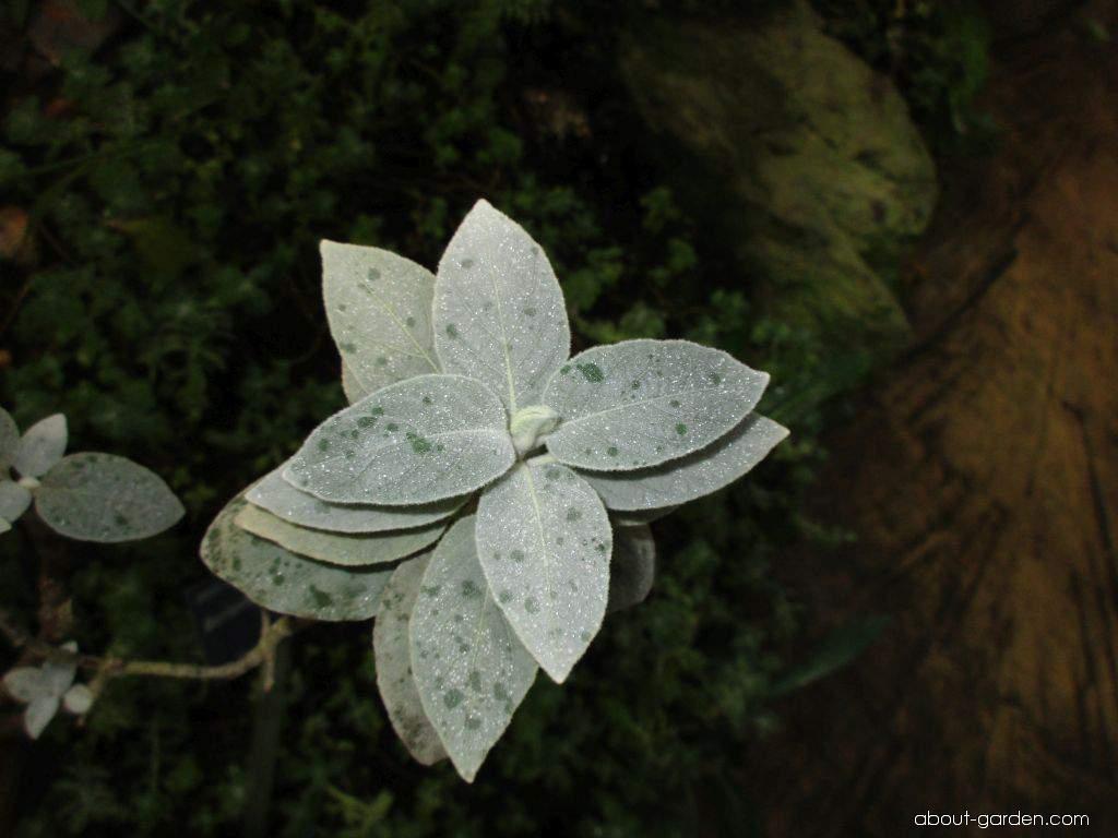 Barlerie (Barleria albostellata)