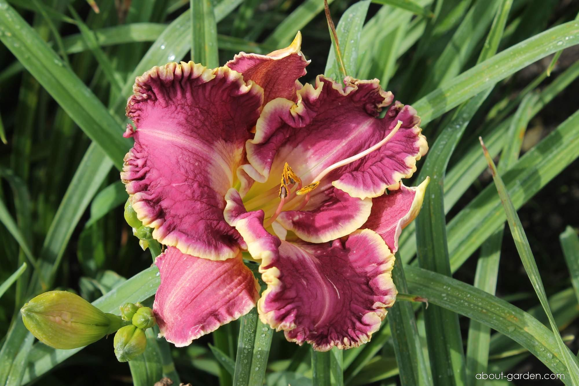 Daylily - Hemerocallis Jennifer Trimmer
