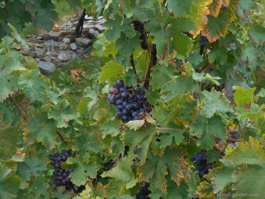 Réva vinná Onyx (Vitis vinifera)