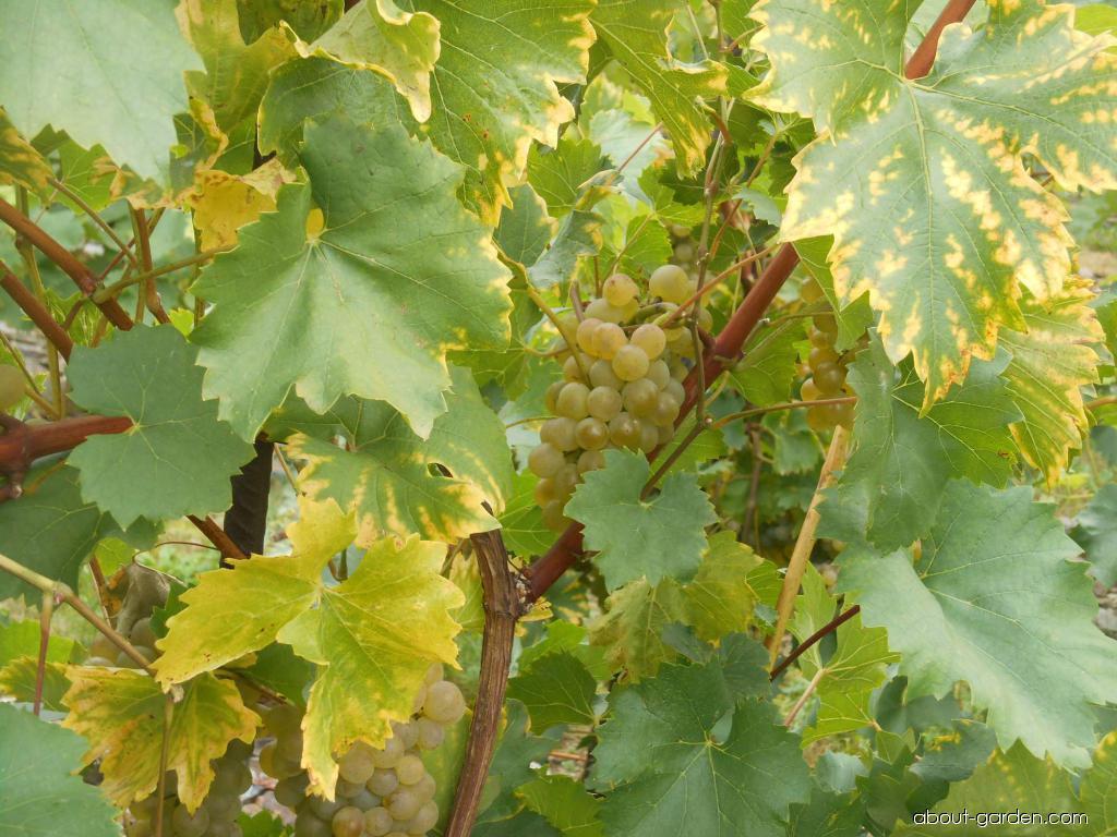 Réva vinná Bianka (Vitis vinifera)