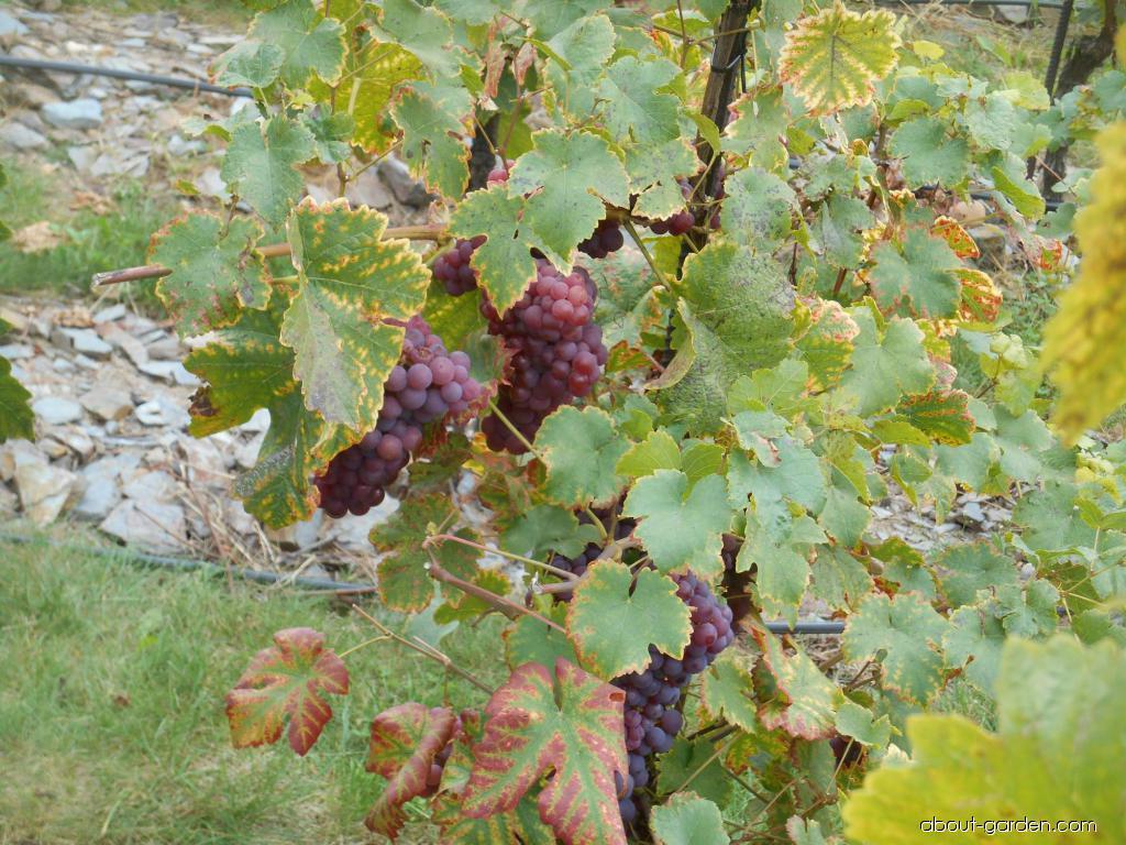 Réva vinná Chrupka červená (Vitis vinifera)