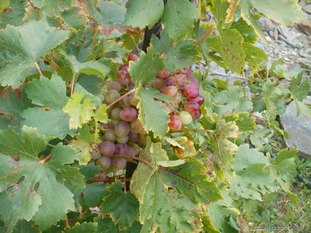 Réva vinná Ametyst (Vitis vinifera)